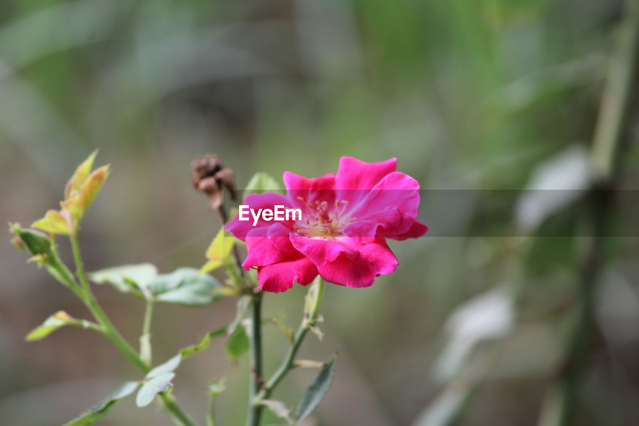 flowering plant, flower, plant, beauty in nature, freshness, vulnerability, petal, growth, pink color, fragility, close-up, flower head, inflorescence, focus on foreground, no people, nature, day, leaf, plant part, selective focus, outdoors