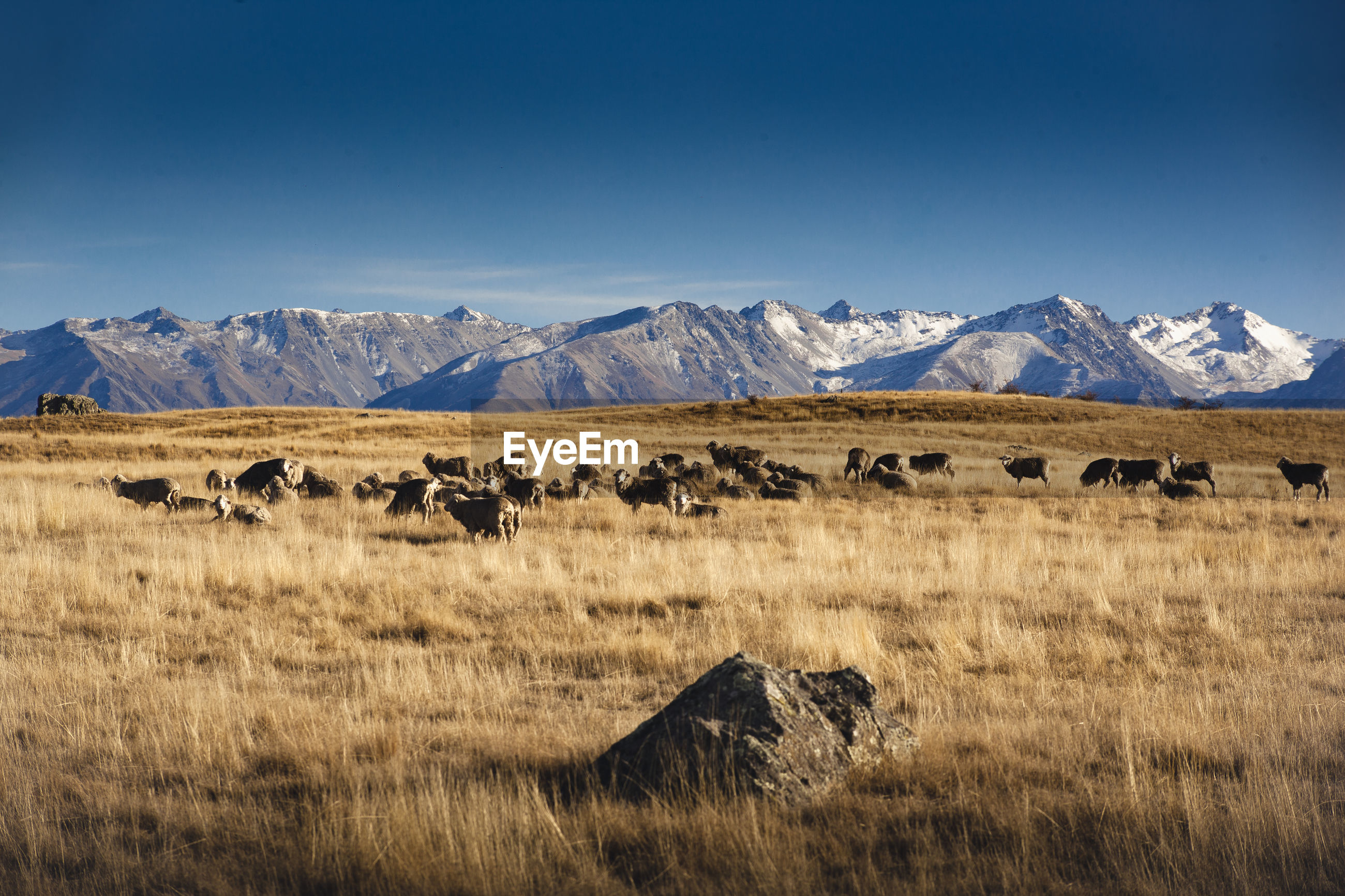 Mid distance view of sheep on grassy field against mountains