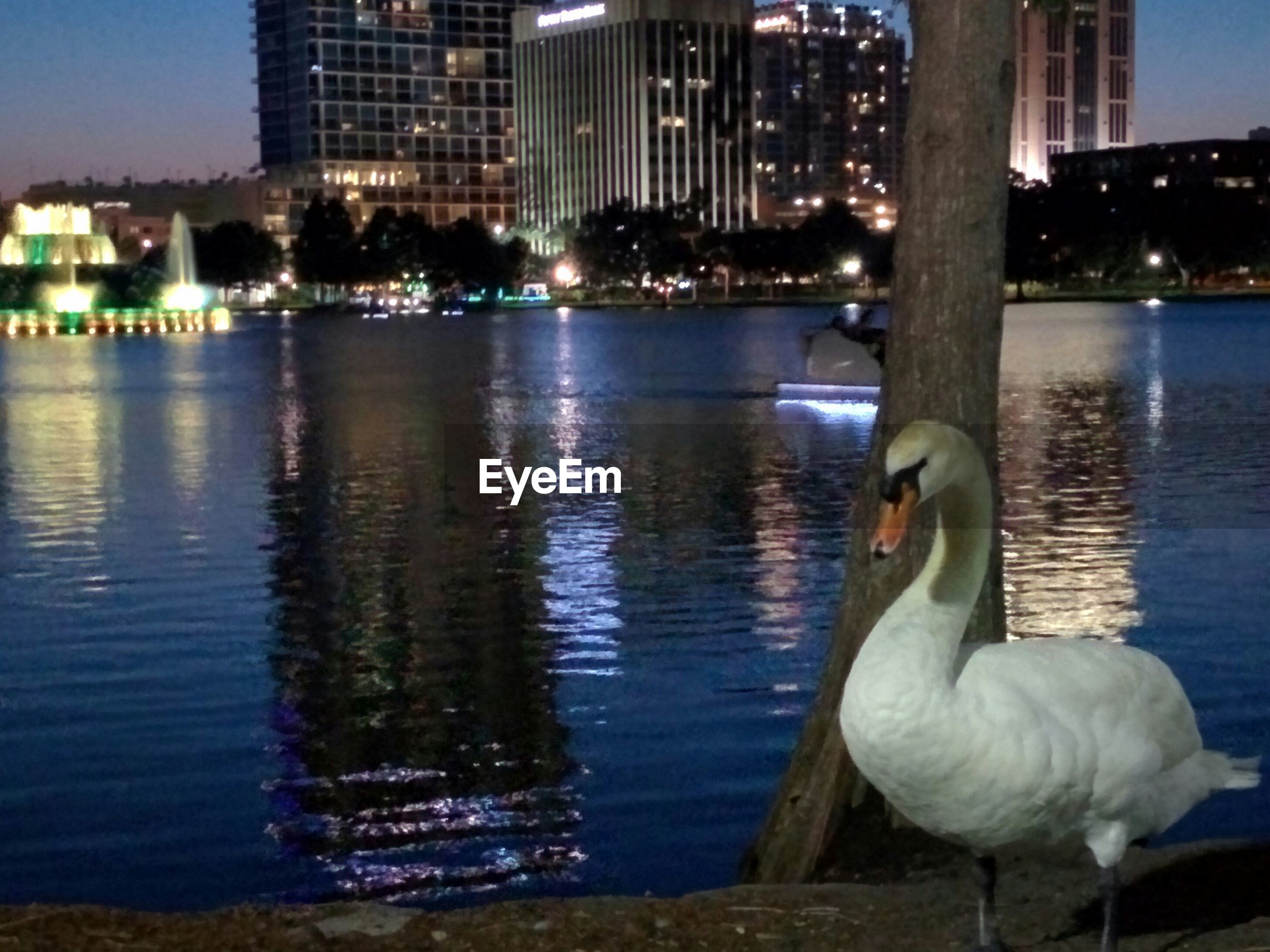 water, building exterior, architecture, built structure, city, bird, animal themes, waterfront, river, animals in the wild, wildlife, reflection, cityscape, swan, lake, swimming, rippled, night, illuminated, outdoors