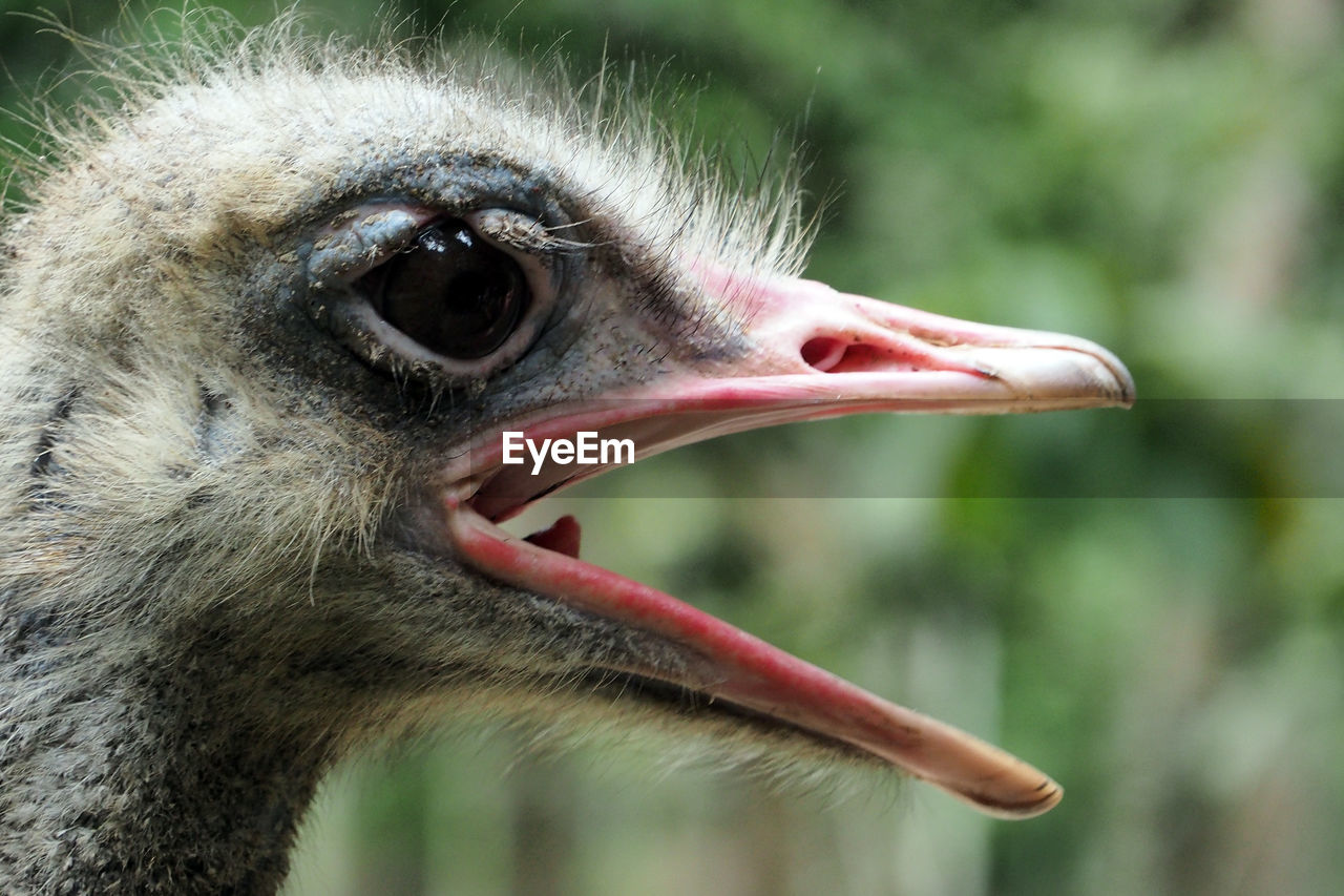 animal themes, one animal, animal, bird, animal wildlife, close-up, vertebrate, animals in the wild, focus on foreground, animal body part, beak, animal head, ostrich, day, no people, nature, eye, looking, outdoors, looking away, mouth open, animal eye, animal mouth