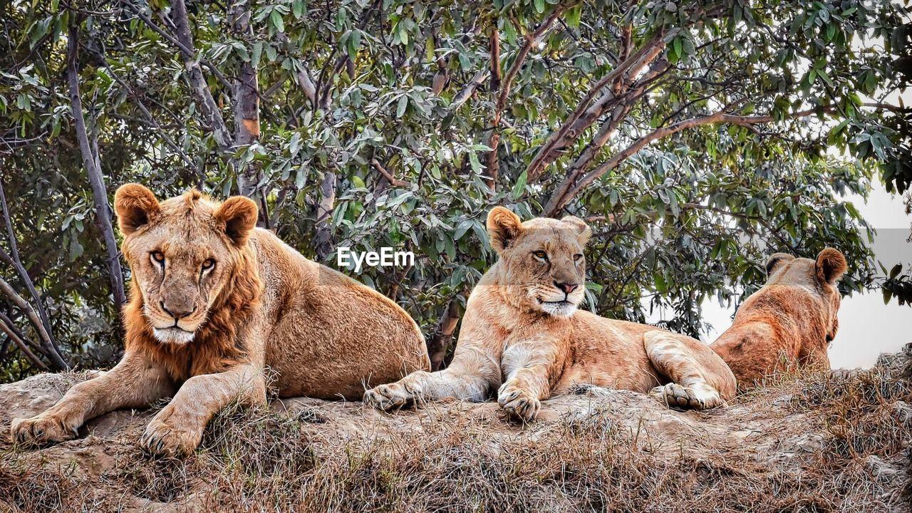 mammal, group of animals, animal themes, animal, lion - feline, animal wildlife, cat, feline, lioness, animals in the wild, lion cub, plant, female animal, vertebrate, relaxation, cub, day, sitting, tree, no people, outdoors, animal family