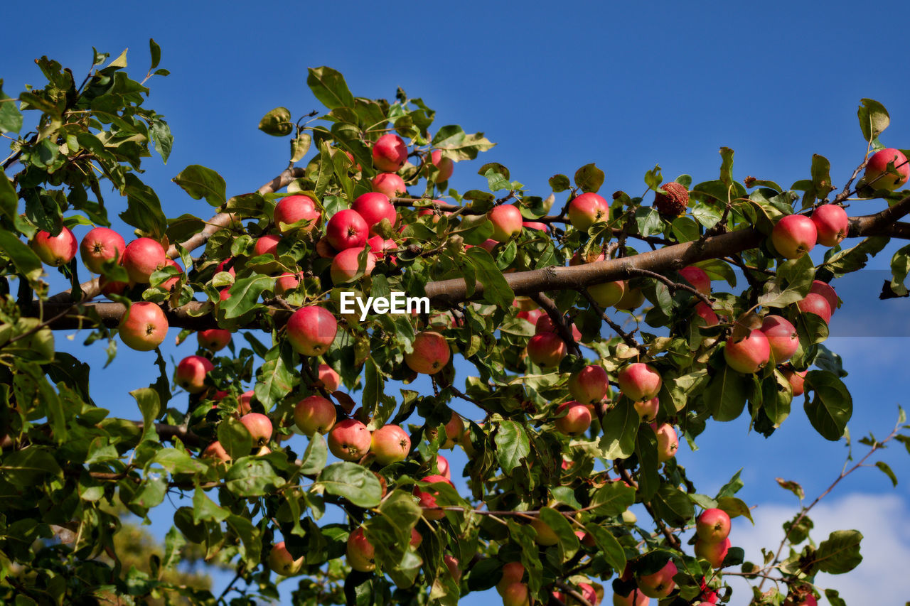 fruit, food, food and drink, healthy eating, growth, plant, tree, freshness, nature, low angle view, leaf, sky, plant part, day, beauty in nature, wellbeing, no people, red, green color, branch, outdoors, rowanberry, ripe