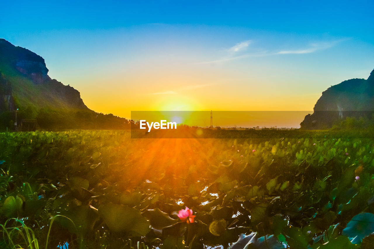 nature, sunset, beauty in nature, growth, plant, sunlight, sun, tranquility, field, scenics, flower, outdoors, tranquil scene, landscape, sky, no people, agriculture, mountain, rural scene, tree, freshness, day