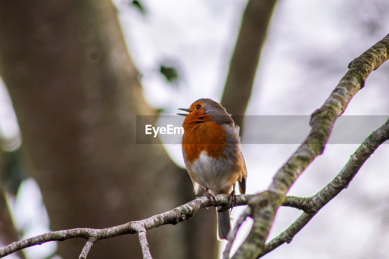 bird, animal wildlife, animal themes, animals in the wild, animal, vertebrate, one animal, perching, branch, tree, robin, focus on foreground, plant, day, no people, outdoors, nature, close-up, beauty in nature, orange color
