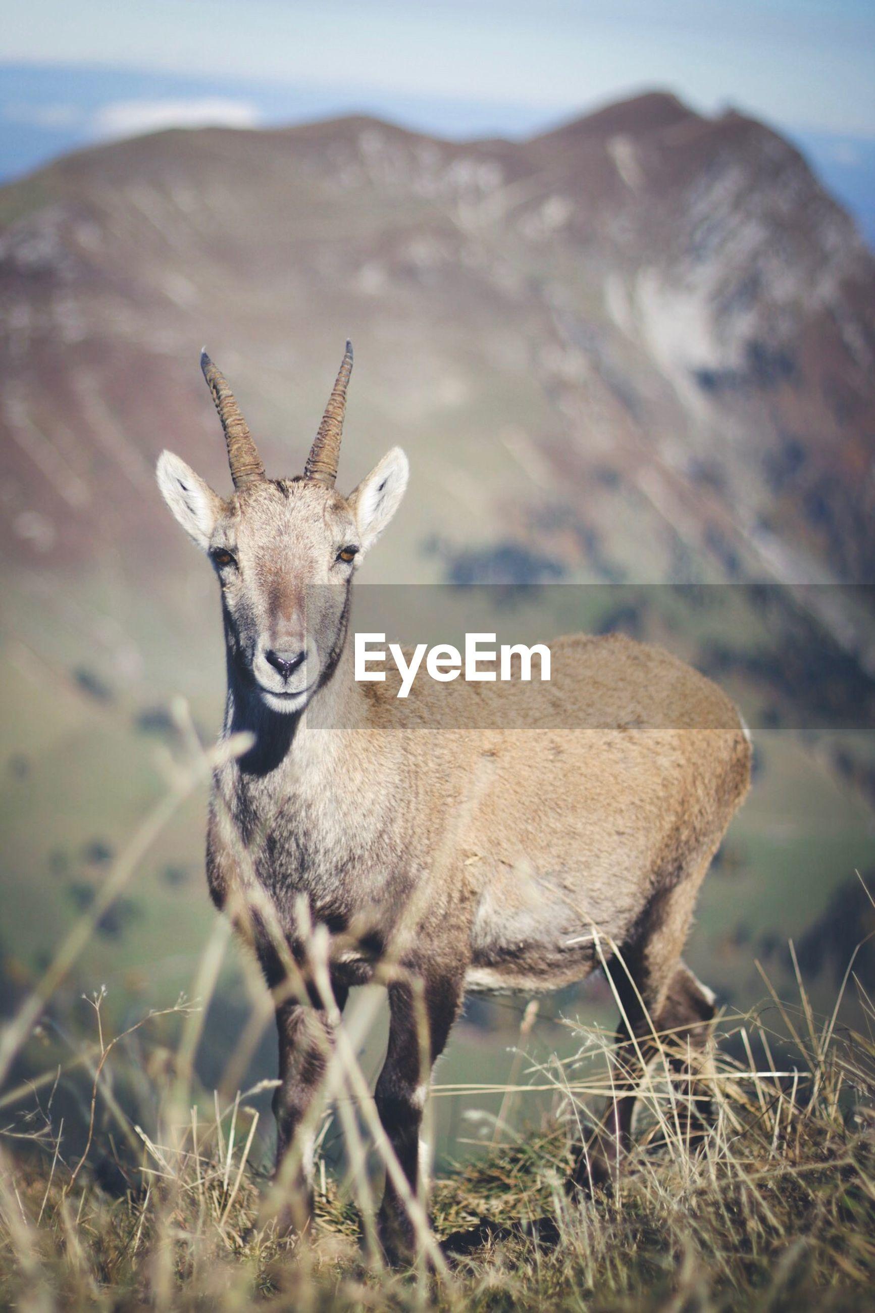 Portrait of goat against view of dent de lys mountain