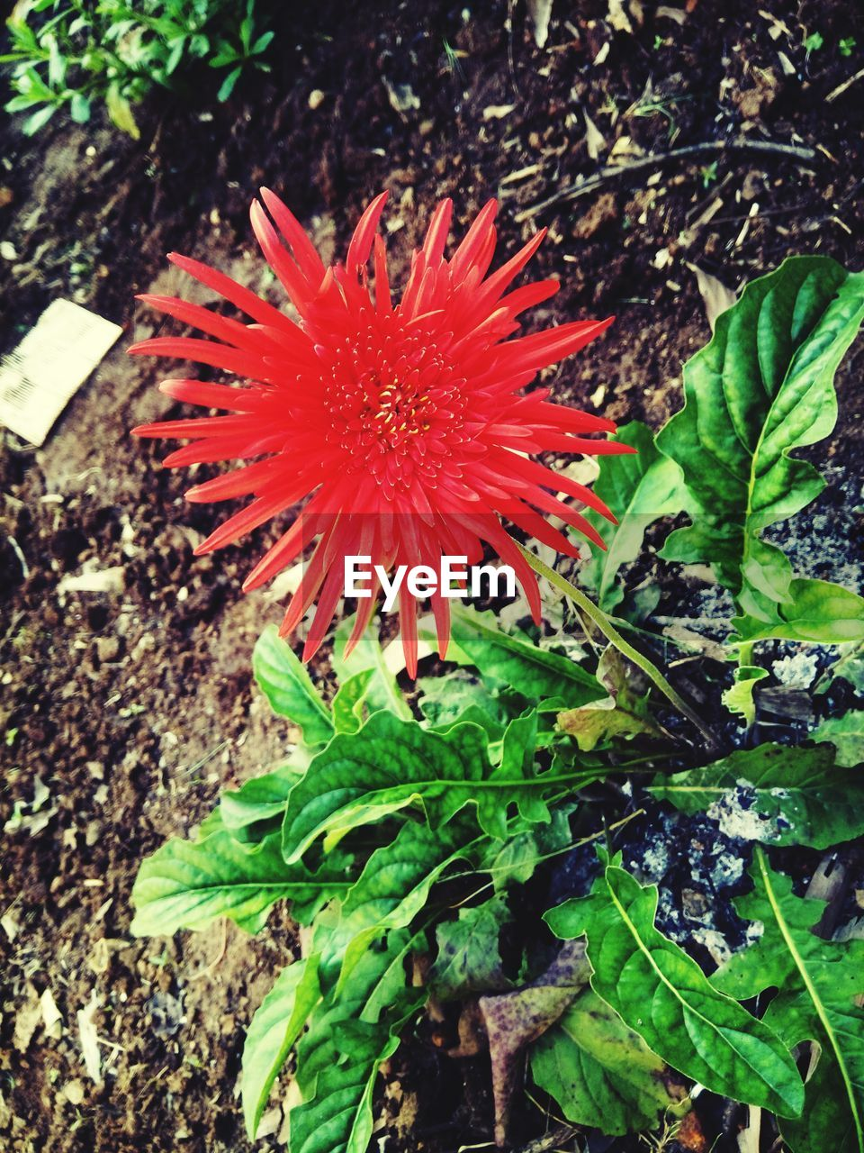 growth, plant, close-up, leaf, red, nature, plant part, beauty in nature, freshness, flowering plant, flower, high angle view, fragility, vulnerability, inflorescence, day, flower head, no people, petal, land, outdoors, pollen, spiky