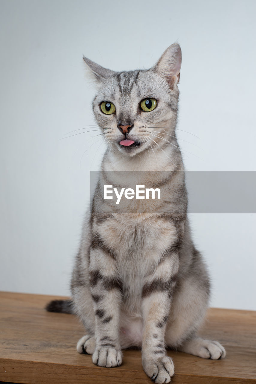 Close-up of cat sticking out tongue on table