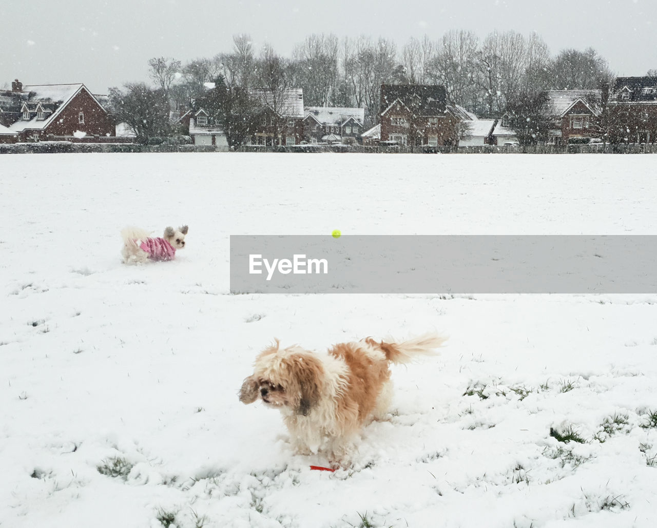 snow, cold temperature, winter, pets, domestic, canine, dog, domestic animals, mammal, animal, animal themes, one animal, vertebrate, nature, covering, field, day, white color, no people, snowing, outdoors