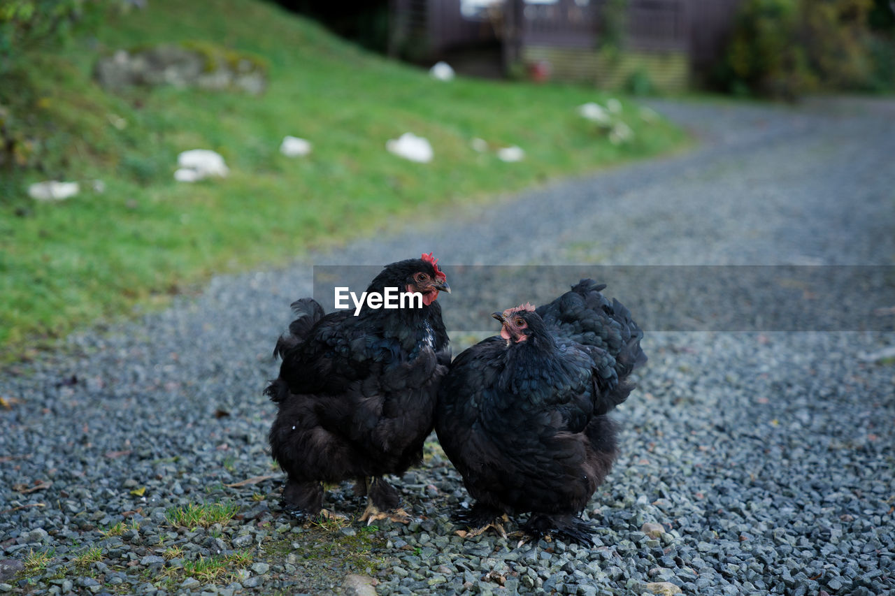 Black Hens On Gravel