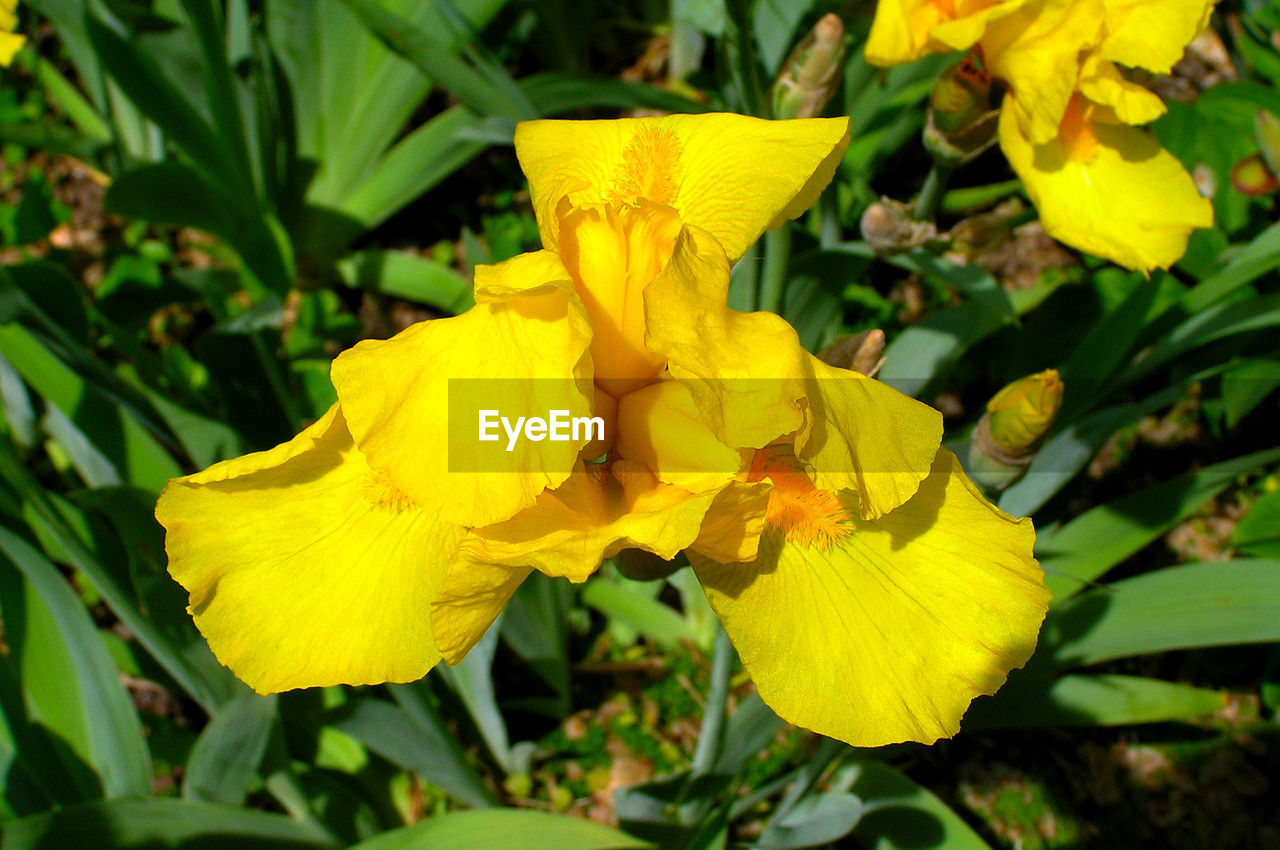 flower, yellow, petal, fragility, growth, beauty in nature, nature, freshness, flower head, vibrant color, no people, day, plant, close-up, outdoors, stamen, springtime, iris - plant, blooming, day lily