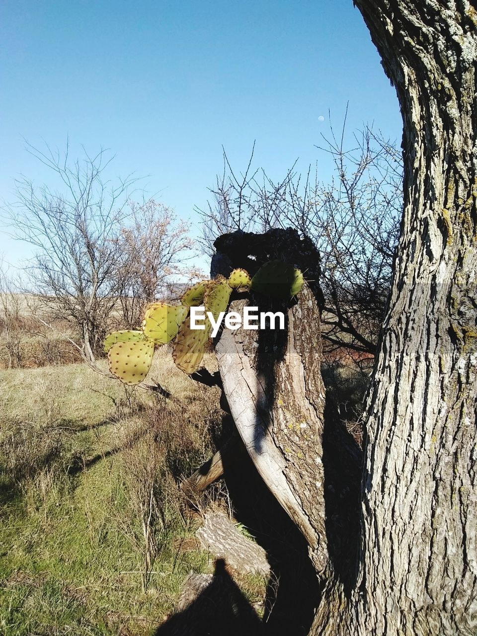 tree, sky, nature, day, animal themes, no people, plant, animal, bare tree, one animal, clear sky, vertebrate, tree trunk, trunk, outdoors, animals in the wild, animal wildlife, field, branch, land, bark