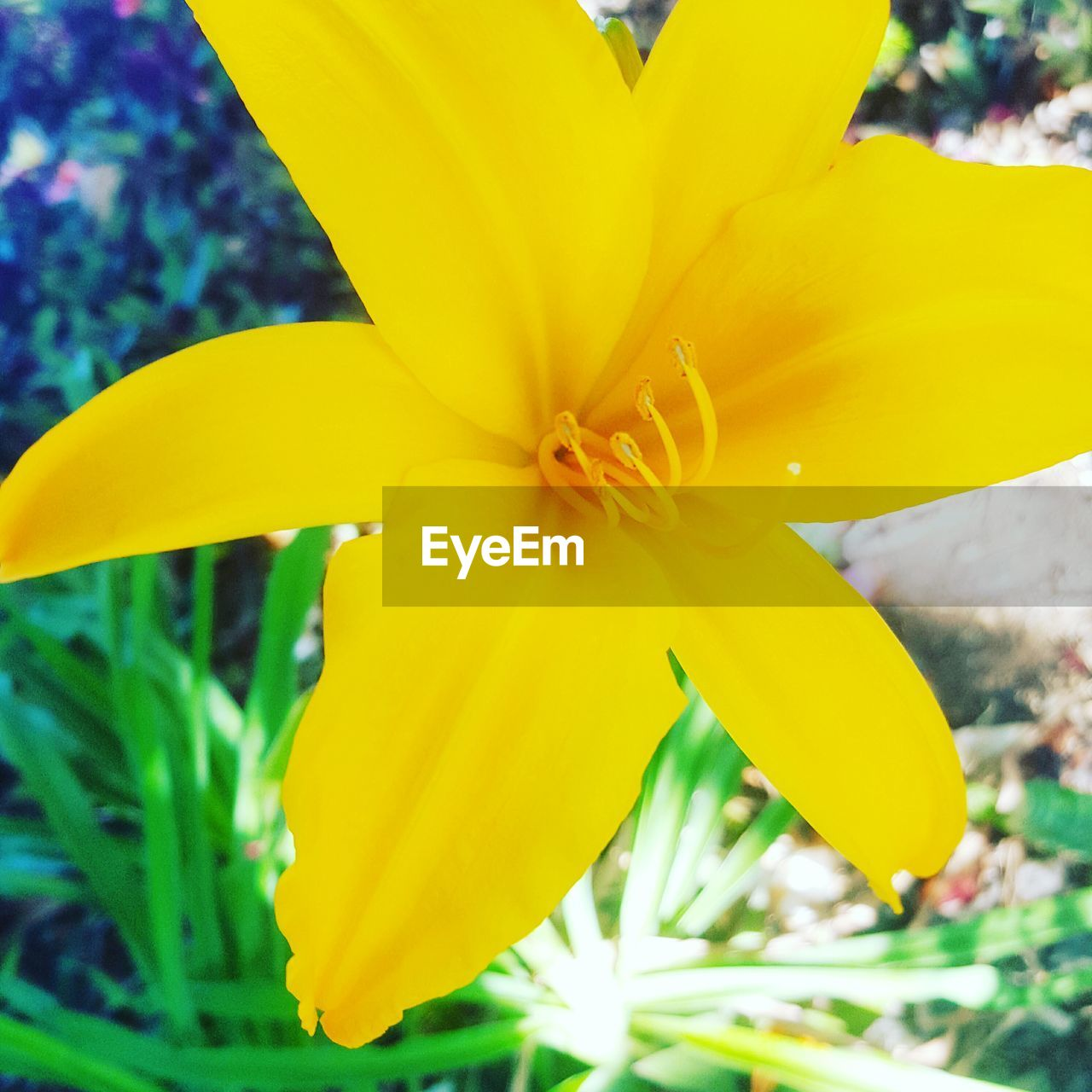 petal, flower, yellow, fragility, flower head, beauty in nature, freshness, growth, nature, day, close-up, outdoors, blooming, no people, plant, day lily