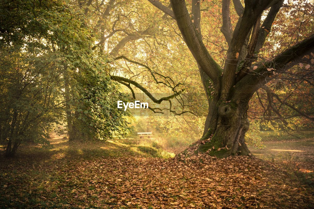 tree, plant, land, forest, nature, tree trunk, plant part, trunk, leaf, autumn, tranquility, beauty in nature, scenics - nature, no people, day, woodland, sunlight, outdoors, branch, environment, change