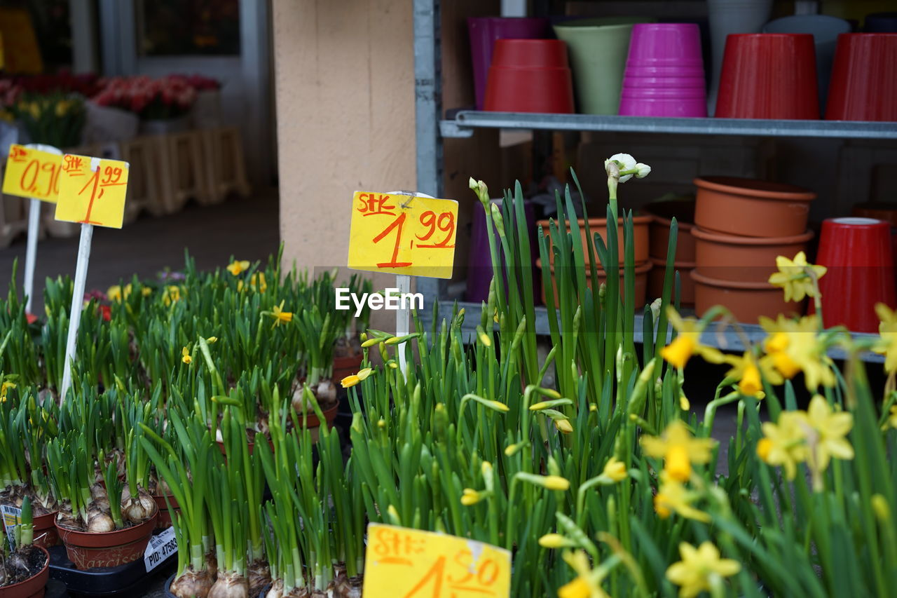 Daffodil Flower Pots For Sale At Market