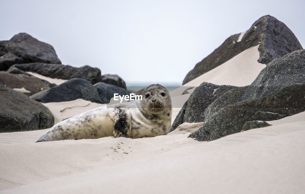 PORTRAIT OF SHEEP ON BEACH