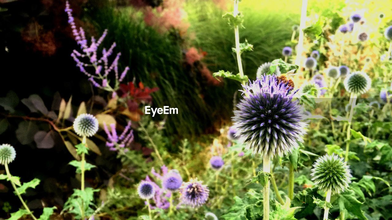 flower, fragility, growth, purple, plant, nature, freshness, flower head, beauty in nature, petal, no people, botany, focus on foreground, day, outdoors, close-up, blooming, thistle