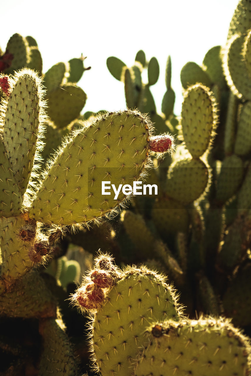 growth, cactus, succulent plant, plant, green color, close-up, beauty in nature, nature, thorn, no people, day, spiked, flower, focus on foreground, fragility, vulnerability, selective focus, botany, flowering plant, prickly pear cactus, outdoors, flower head, spiky
