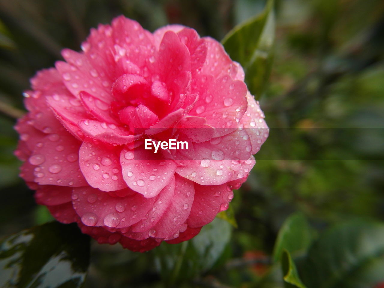 water, drop, wet, nature, flower, beauty in nature, growth, petal, freshness, pink color, fragility, raindrop, no people, day, flower head, blooming, close-up, plant, outdoors, periwinkle