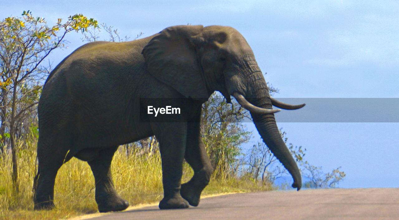 animal, animal themes, mammal, elephant, animal wildlife, one animal, sky, vertebrate, tree, nature, day, plant, animals in the wild, animal body part, safari, land, animal trunk, no people, field, outdoors, herbivorous, african elephant, tusk