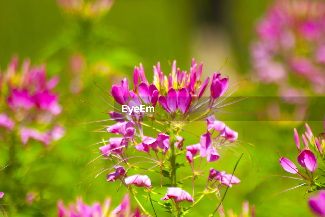 flower, flowering plant, fragility, vulnerability, plant, freshness, beauty in nature, growth, petal, pink color, close-up, flower head, inflorescence, day, nature, selective focus, no people, focus on foreground, outdoors, purple
