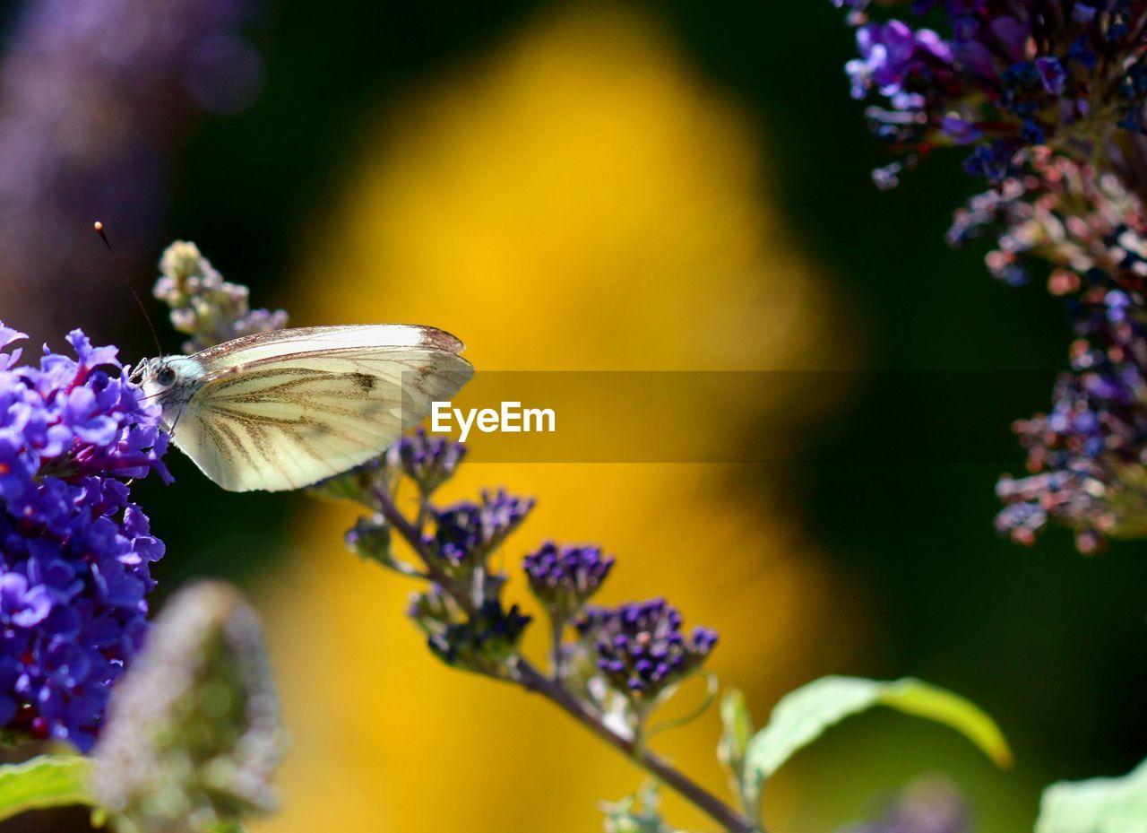 flower, flowering plant, fragility, plant, beauty in nature, vulnerability, freshness, growth, petal, flower head, one animal, close-up, animal themes, animal wildlife, inflorescence, insect, animal, invertebrate, animals in the wild, no people, purple, pollination, animal wing, butterfly - insect