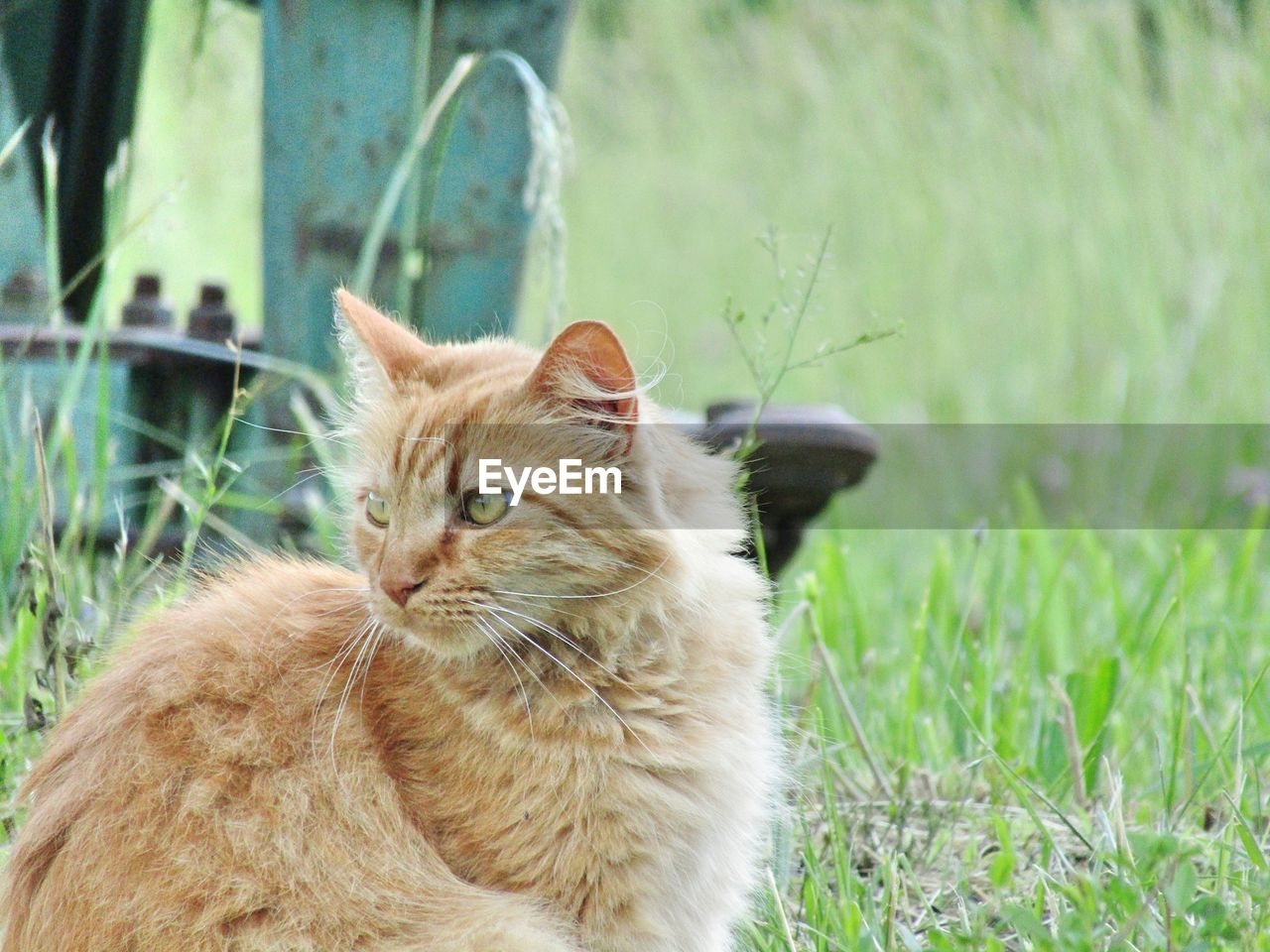 cat, feline, domestic cat, domestic, domestic animals, pets, animal themes, mammal, animal, one animal, vertebrate, grass, focus on foreground, plant, field, nature, whisker, day, no people, looking, outdoors, animal head, ginger cat