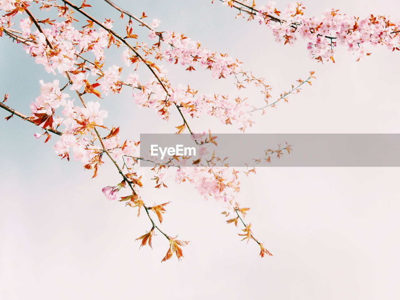 flower, blossom, beauty in nature, growth, nature, tree, branch, fragility, pink color, springtime, no people, botany, low angle view, freshness, twig, outdoors, petal, clear sky, tranquility, day, sky, flower head, close-up