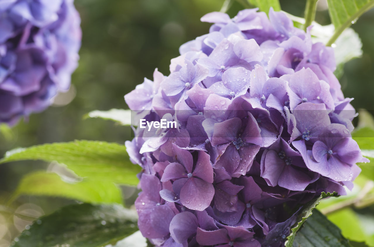 flower, purple, petal, beauty in nature, nature, fragility, freshness, growth, hydrangea, flower head, day, plant, close-up, no people, blooming, outdoors, lilac