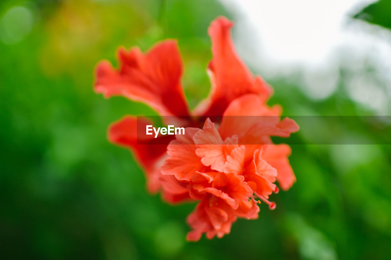 flower, nature, growth, beauty in nature, red, petal, spring, no people, plant, blooming, close-up, flower head, outdoors, freshness, day