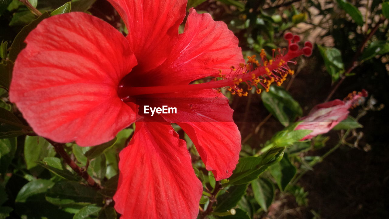 flower, petal, red, growth, beauty in nature, fragility, flower head, nature, hibiscus, freshness, stamen, plant, day, no people, close-up, outdoors, blooming, day lily, springtime