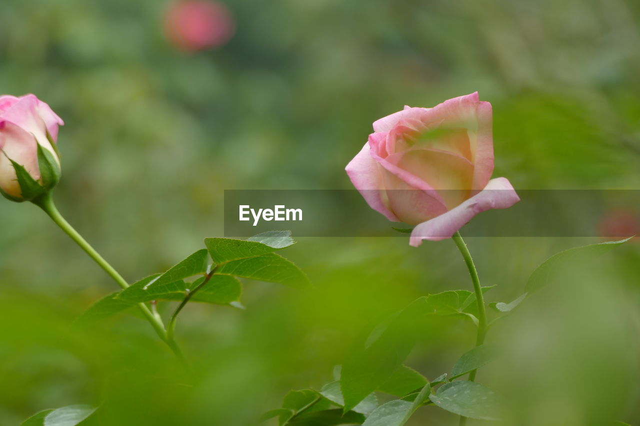 flower, plant, beauty in nature, flowering plant, freshness, growth, petal, vulnerability, fragility, close-up, pink color, inflorescence, flower head, plant part, leaf, nature, rose, selective focus, green color, day, no people, outdoors