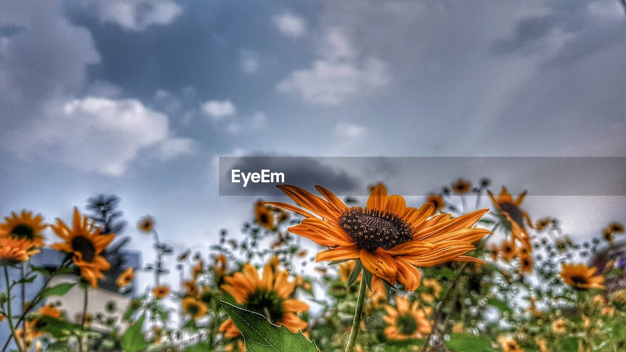 flower, flowering plant, plant, growth, beauty in nature, fragility, freshness, vulnerability, flower head, petal, inflorescence, sky, close-up, nature, cloud - sky, focus on foreground, day, no people, pollen, yellow, outdoors, sepal