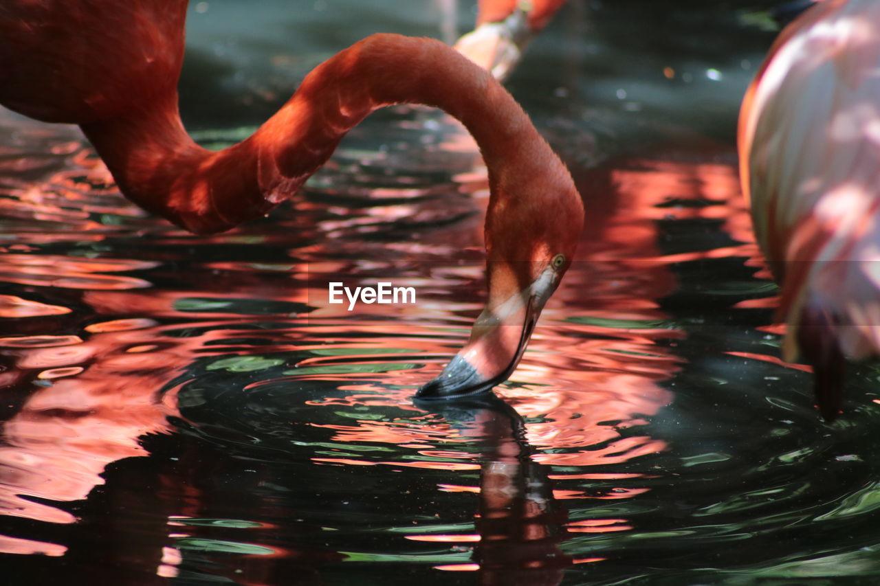 Close-up Of Flamingo Drinking