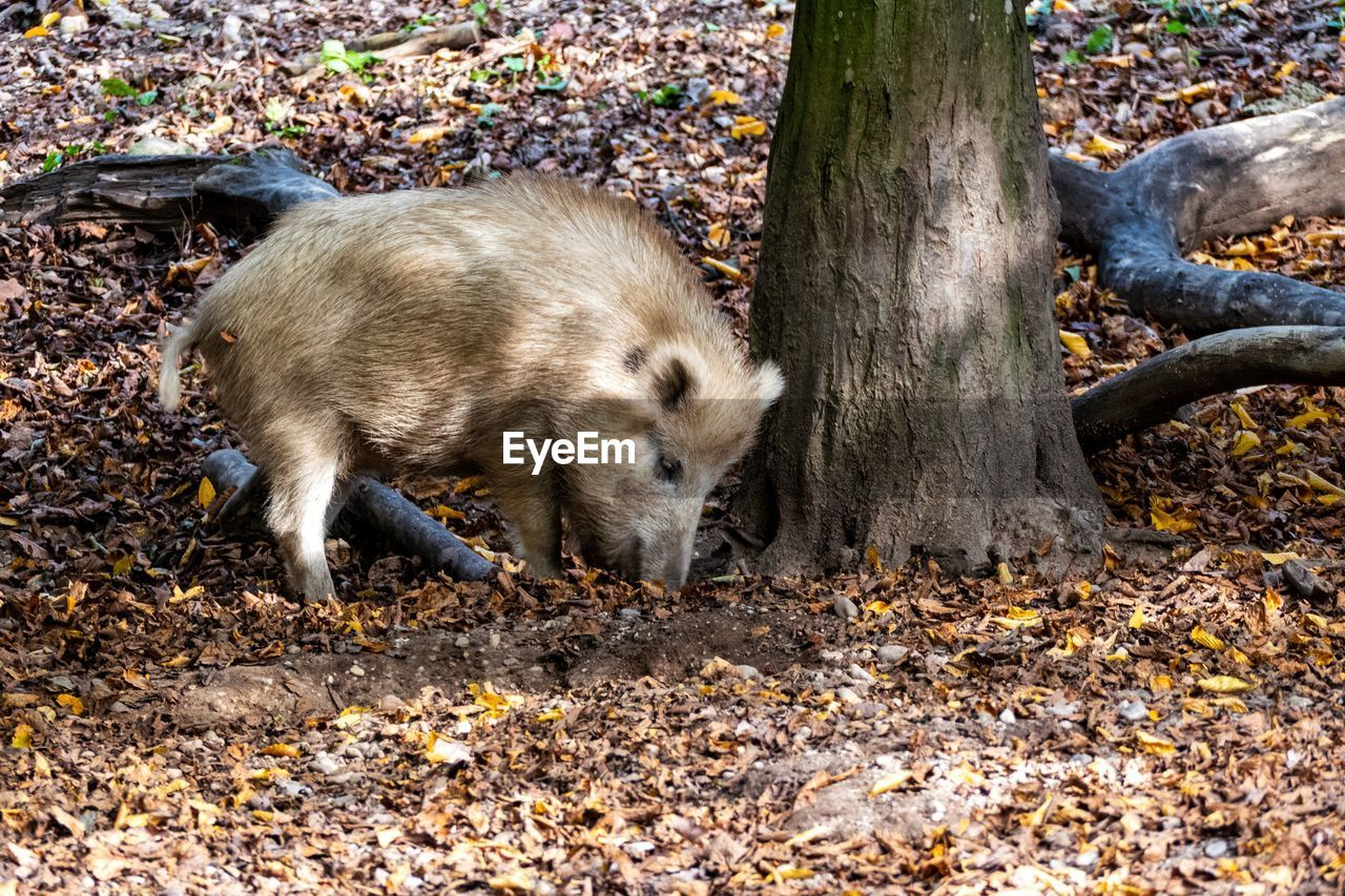animal themes, animal, mammal, one animal, tree, no people, nature, land, animals in the wild, pig, animal wildlife, plant part, day, vertebrate, autumn, leaf, domestic, forest, outdoors, wild boar