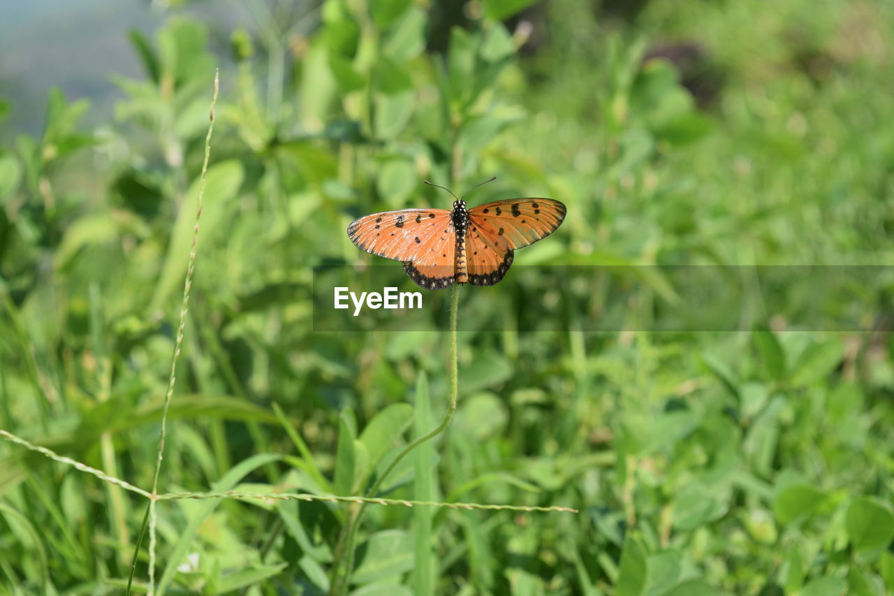 plant, growth, beauty in nature, green color, animal wing, animal wildlife, animal themes, animal, insect, invertebrate, animals in the wild, one animal, butterfly - insect, day, nature, flower, fragility, vulnerability, close-up, no people, outdoors, butterfly, flower head, pollination