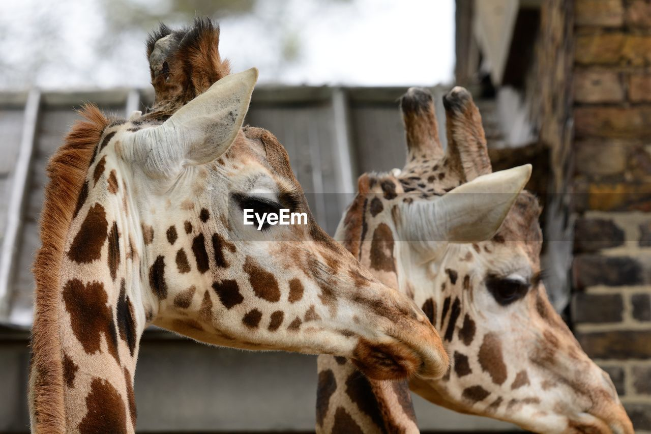 Close-up of giraffes