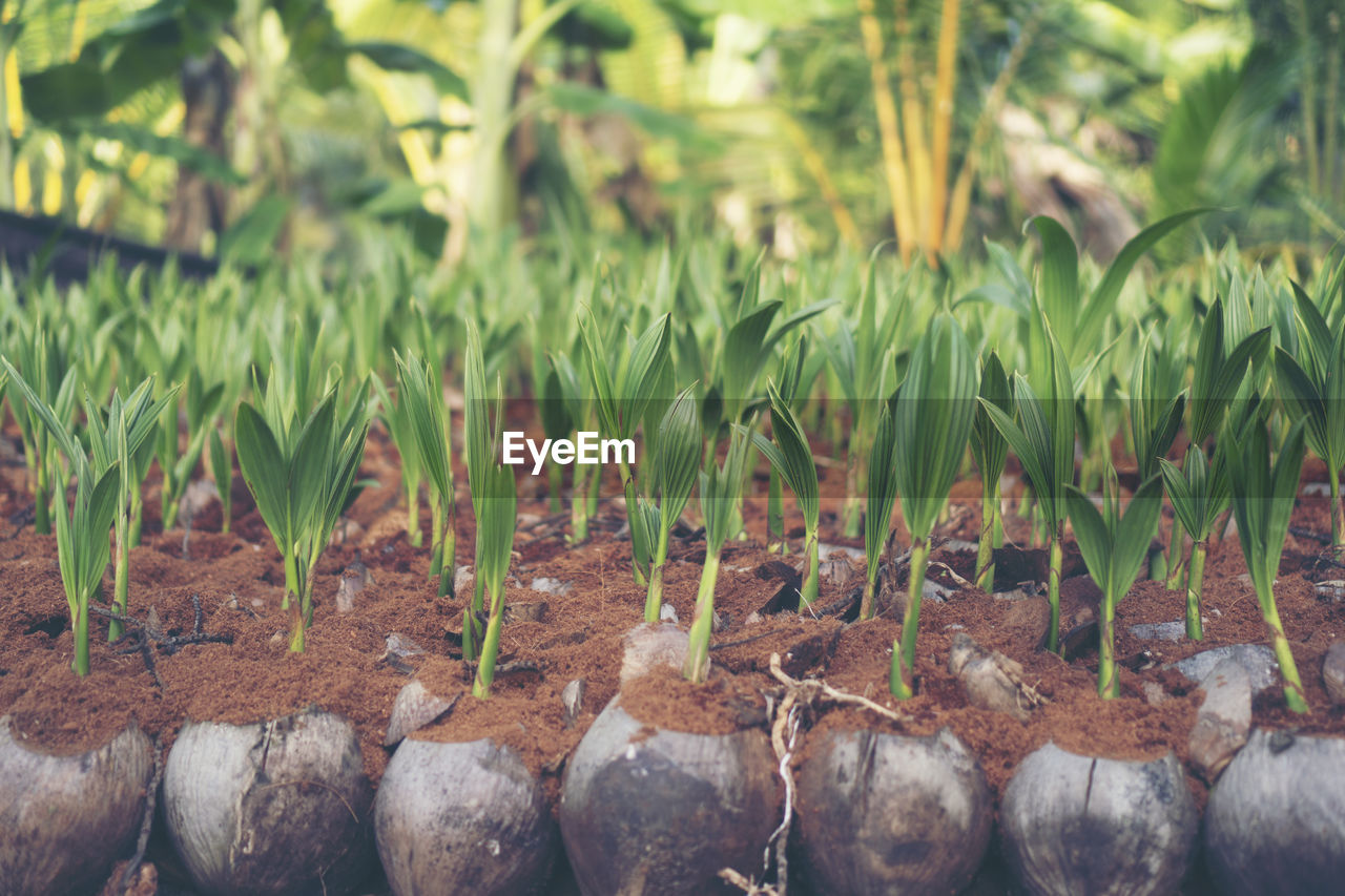 growth, plant, nature, green color, no people, day, land, field, focus on foreground, beauty in nature, close-up, outdoors, leaf, tranquility, plant part, freshness, grass, agriculture, selective focus, farm, plantation