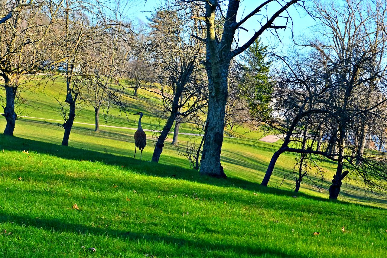 tree, grass, nature, green color, field, beauty in nature, golf course, golf, growth, tranquility, landscape, day, branch, outdoors, green - golf course, scenics, bare tree, no people, golfer, sky