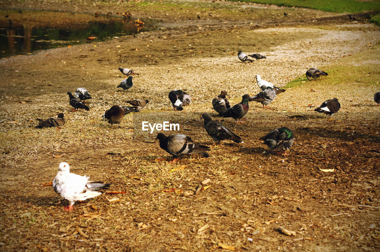 Flock of pigeons on field