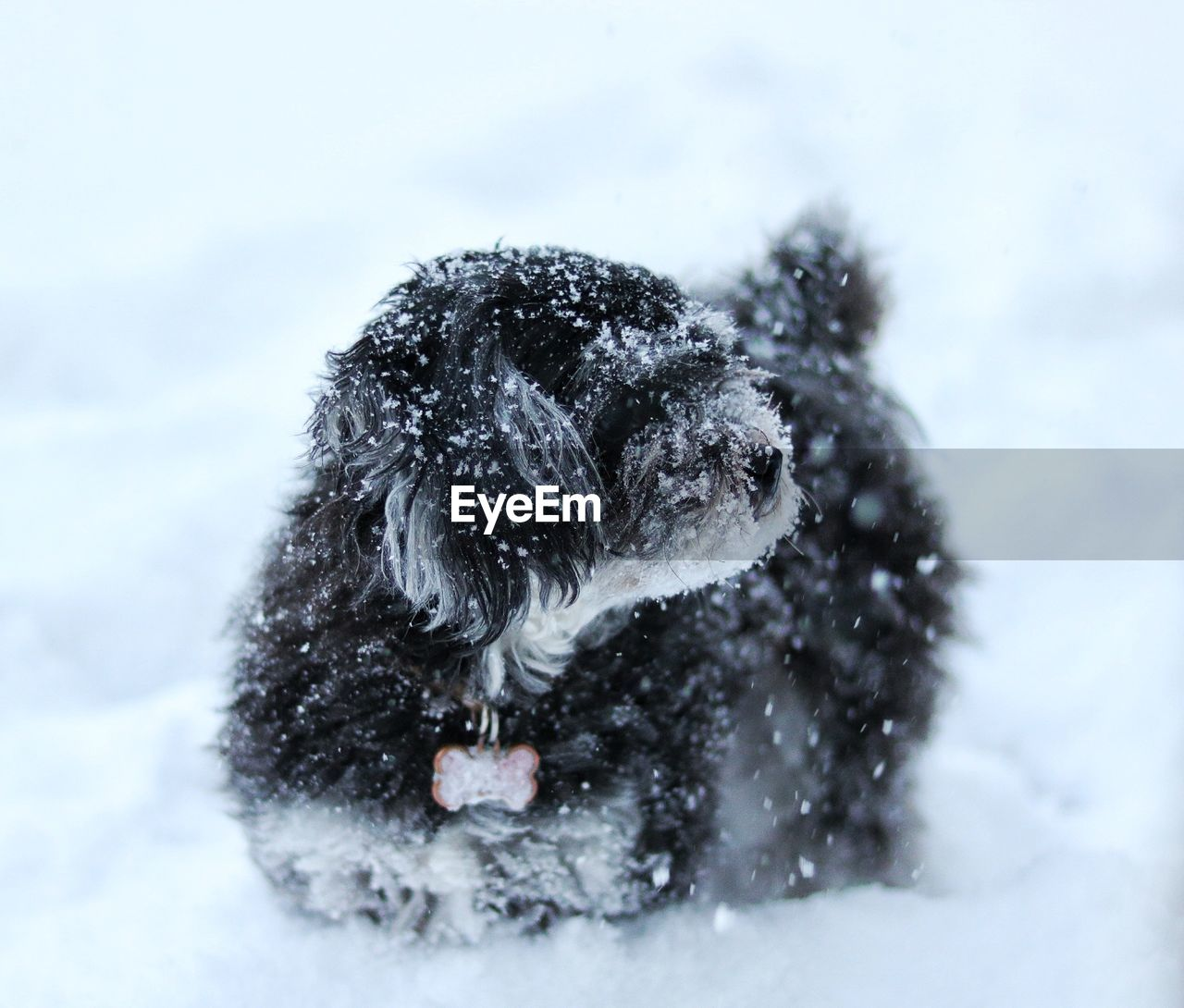 winter, snow, animal themes, cold temperature, animal, one animal, canine, dog, mammal, nature, domestic animals, pets, domestic, vertebrate, day, no people, focus on foreground, field, outdoors, snowing, extreme weather