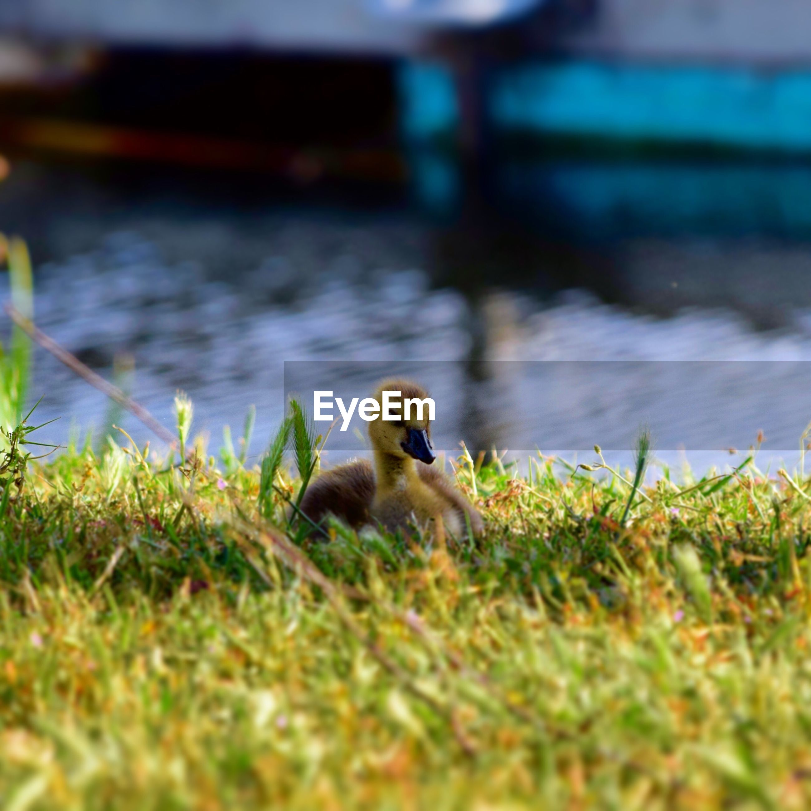 Close-up of duckling sitting on field
