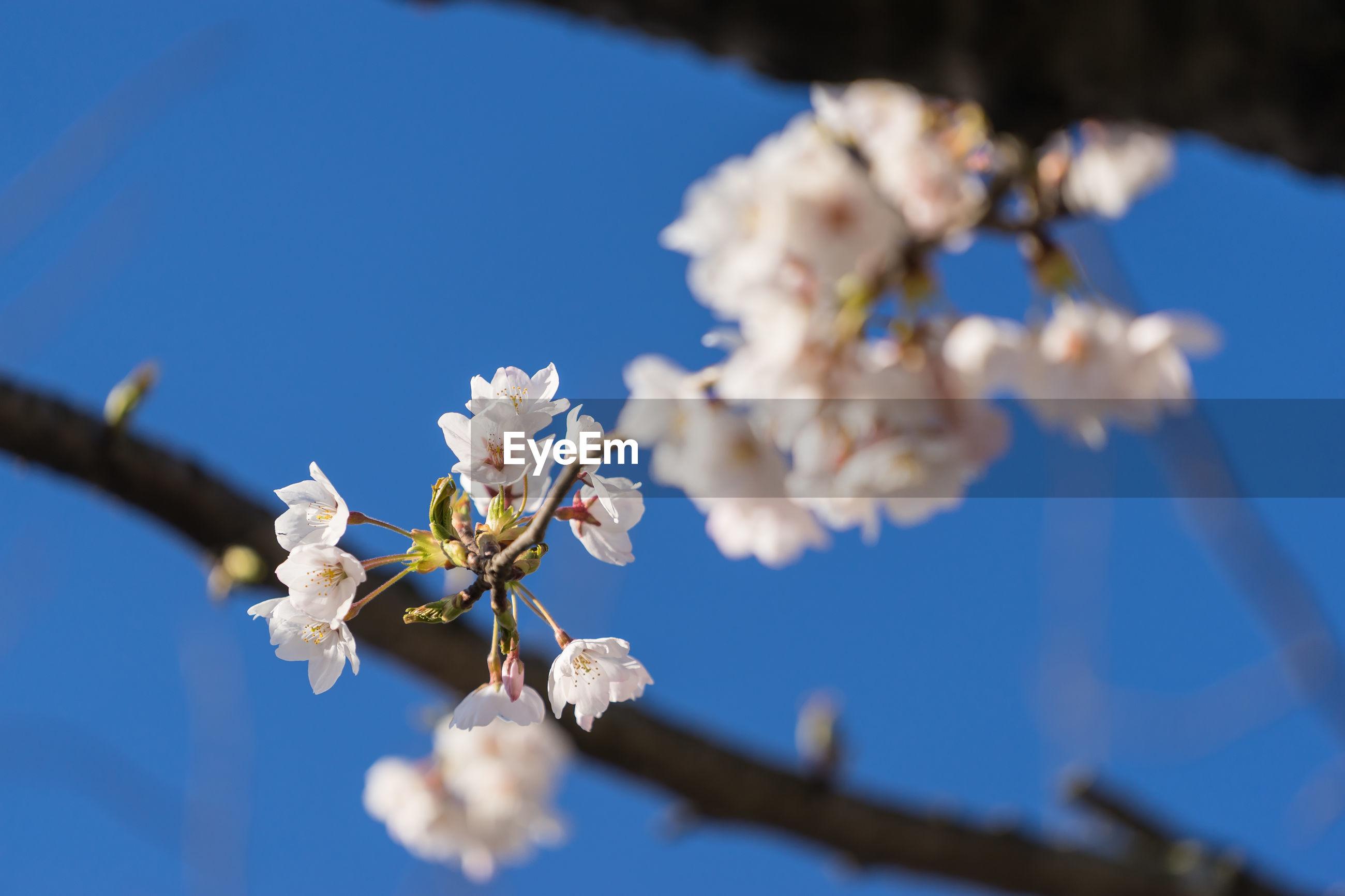 CLOSE-UP OF CHERRY BLOSSOM AGAINST BLUE SKY