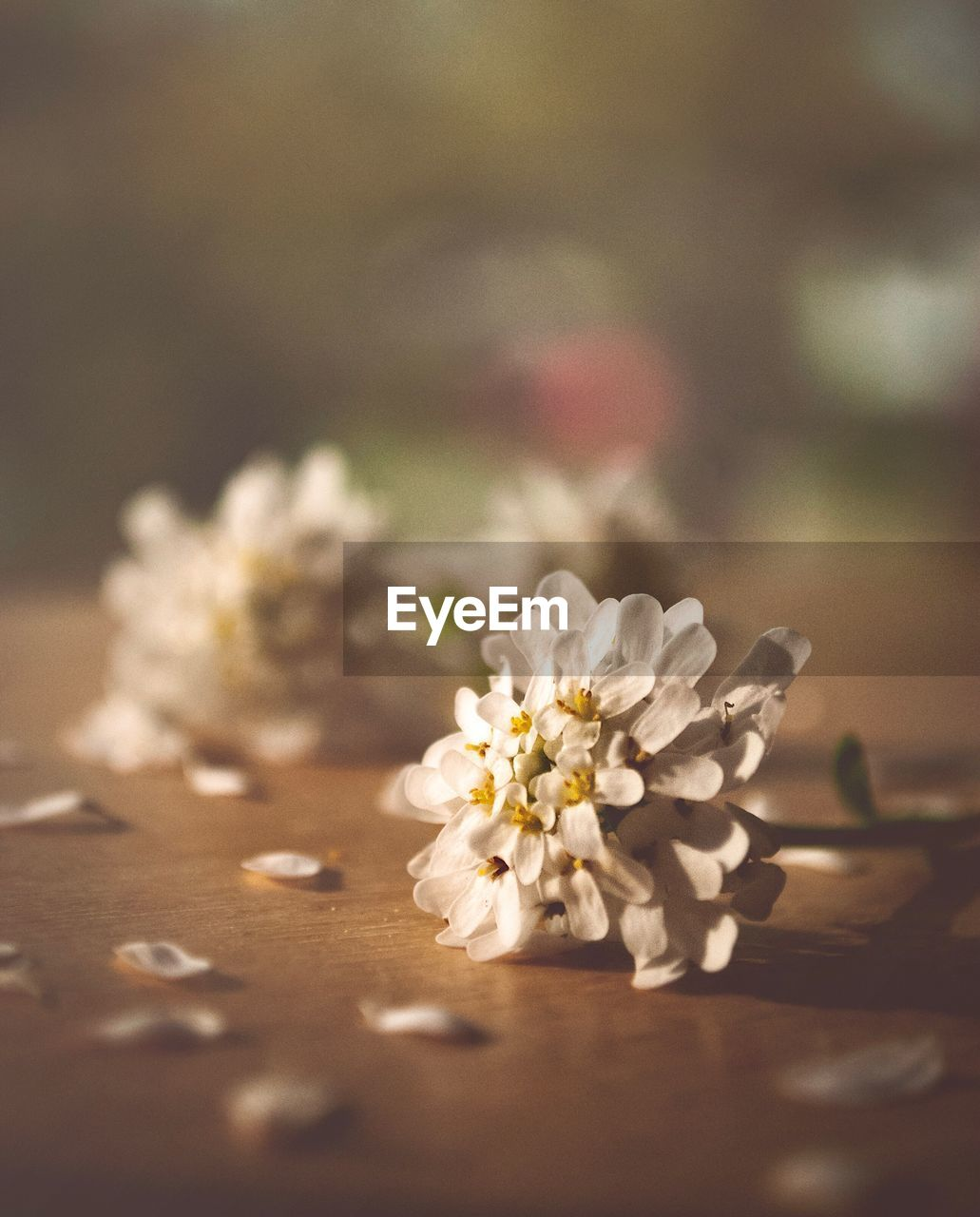 flowering plant, flower, selective focus, freshness, plant, close-up, beauty in nature, table, nature, no people, fragility, vulnerability, petal, white color, day, indoors, flower head, inflorescence, botany, cherry blossom