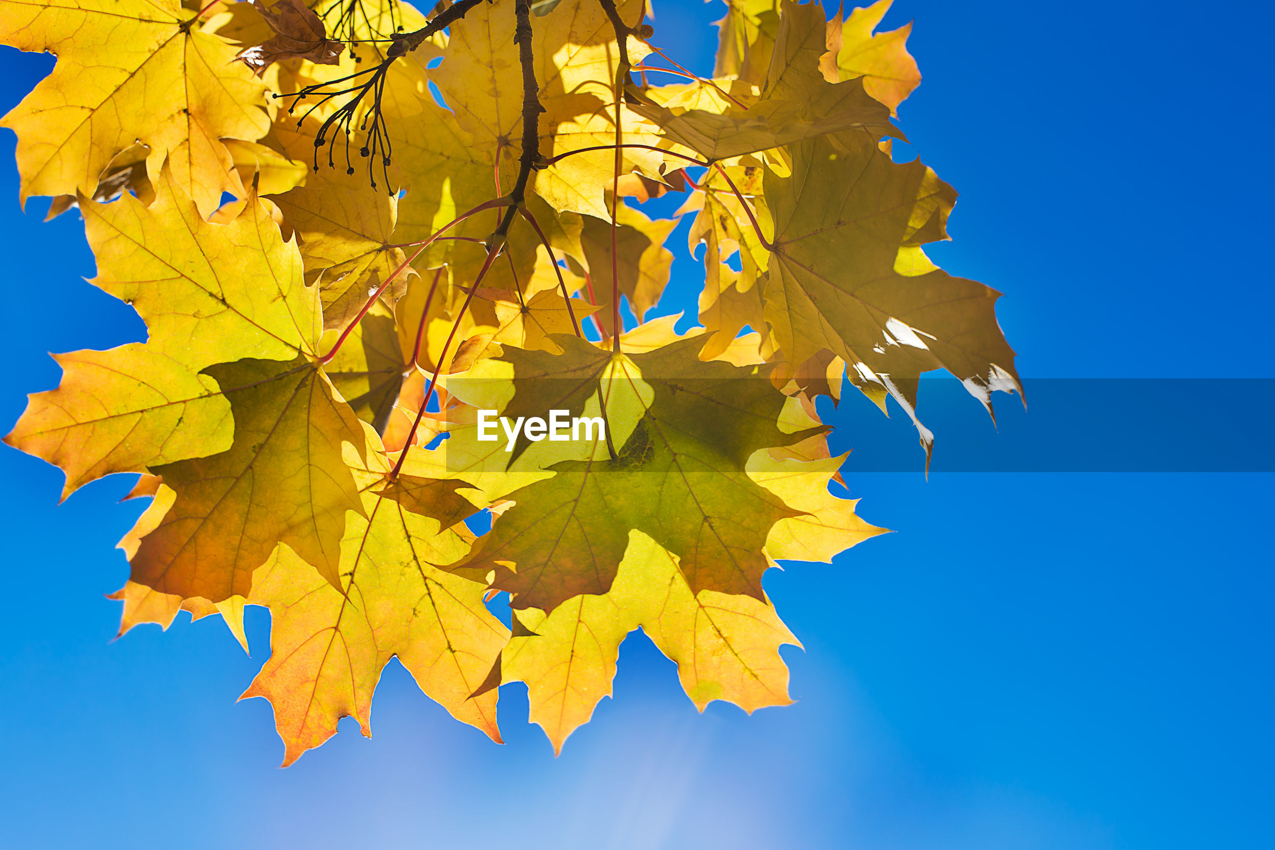 LOW ANGLE VIEW OF MAPLE LEAVES AGAINST BLUE SKY