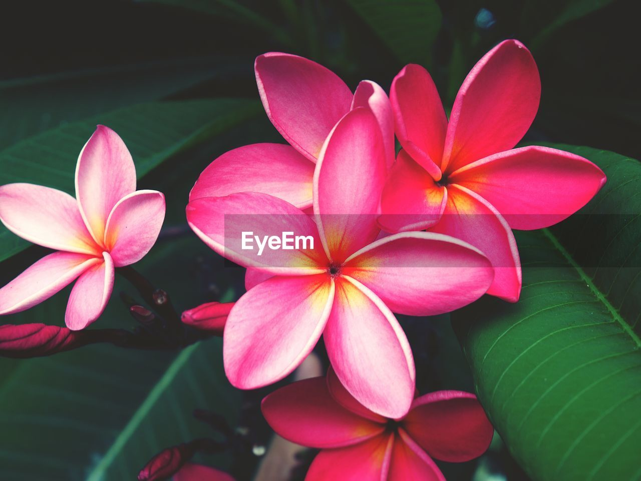 petal, flower, beauty in nature, fragility, flower head, growth, pink color, nature, periwinkle, blooming, close-up, day, freshness, frangipani, plant, no people, outdoors