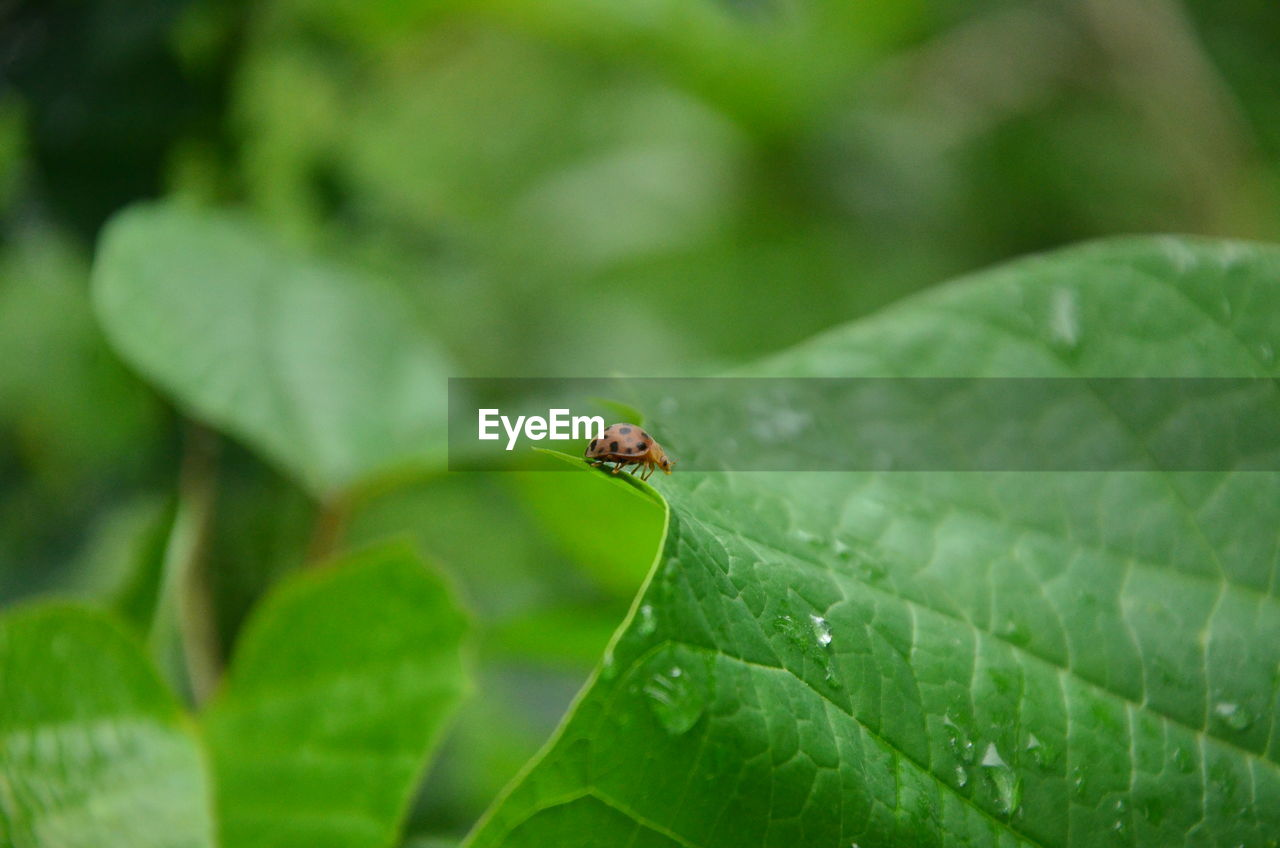 plant part, leaf, green color, invertebrate, animals in the wild, animal wildlife, animal, insect, animal themes, one animal, close-up, growth, plant, nature, day, selective focus, focus on foreground, no people, outdoors, leaf vein