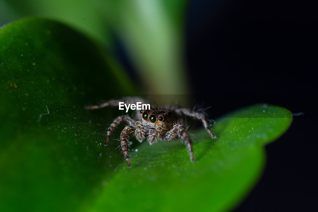 invertebrate, insect, green color, animals in the wild, animal wildlife, animal, one animal, animal themes, arthropod, close-up, selective focus, plant part, leaf, arachnid, spider, nature, no people, zoology, plant, jumping spider, outdoors, animal leg, animal eye