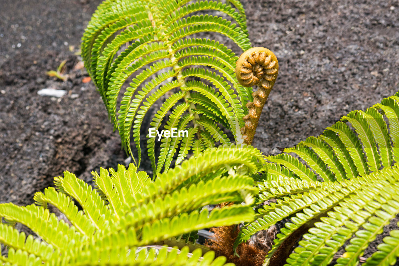green color, nature, leaf, growth, plant, close-up, day, high angle view, fern, beauty in nature, outdoors, no people, frond, fragility, animal themes, freshness