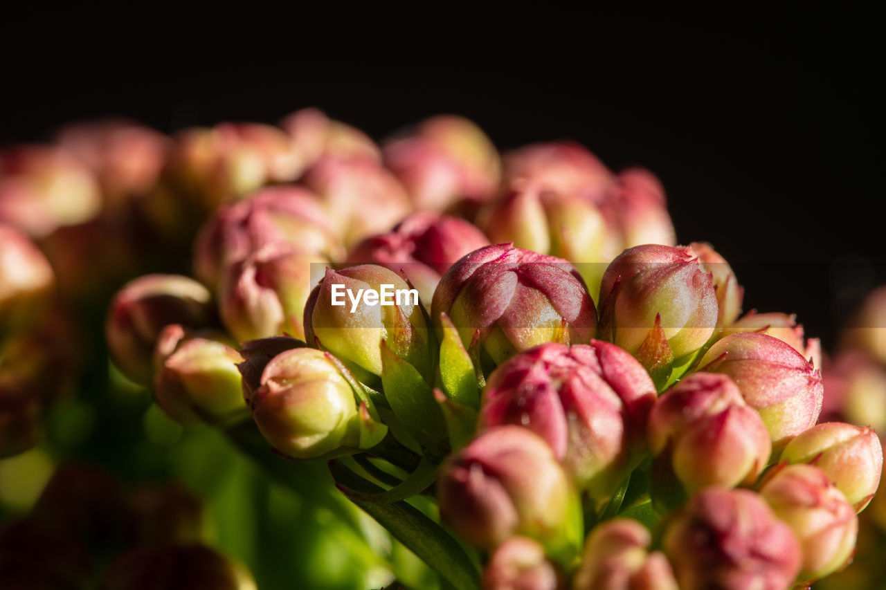 freshness, close-up, beauty in nature, plant, selective focus, no people, flower, pink color, flowering plant, vulnerability, bud, studio shot, fragility, nature, indoors, food and drink, petal, growth, food, black background, flower head