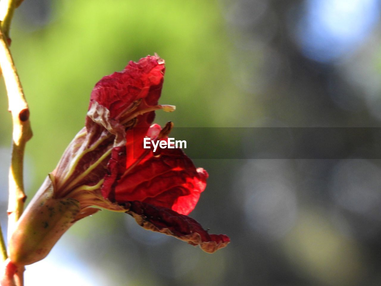 red, fragility, nature, flower, beauty in nature, growth, no people, close-up, focus on foreground, petal, plant, day, outdoors, rose - flower, freshness, flower head